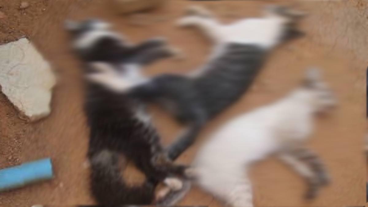 Polícia investiga onda de envenenamento de gatos em Valparaíso