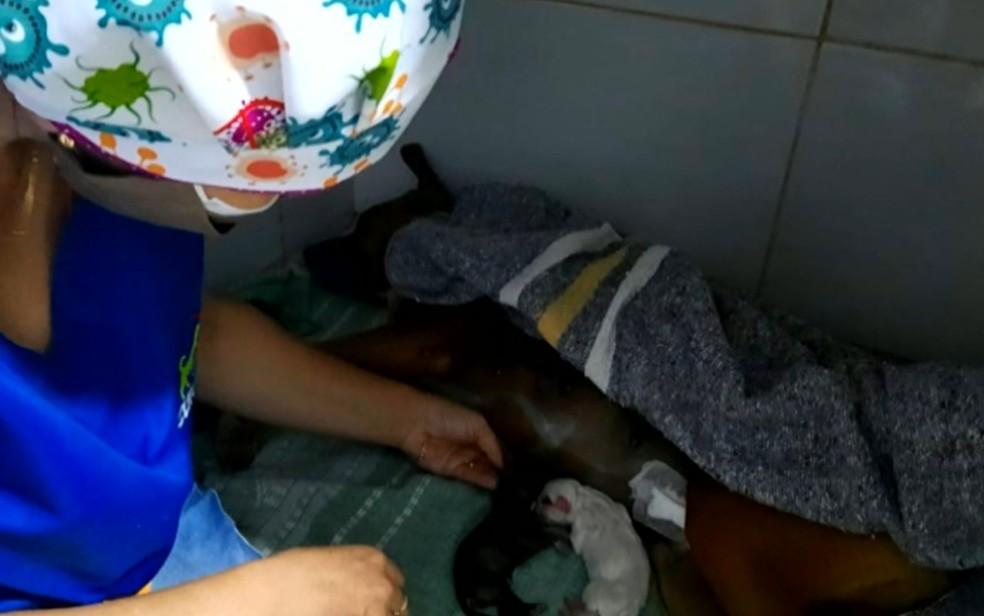 Cadela que ficou à espera do dono vítima da Covid passa por parto emergencial