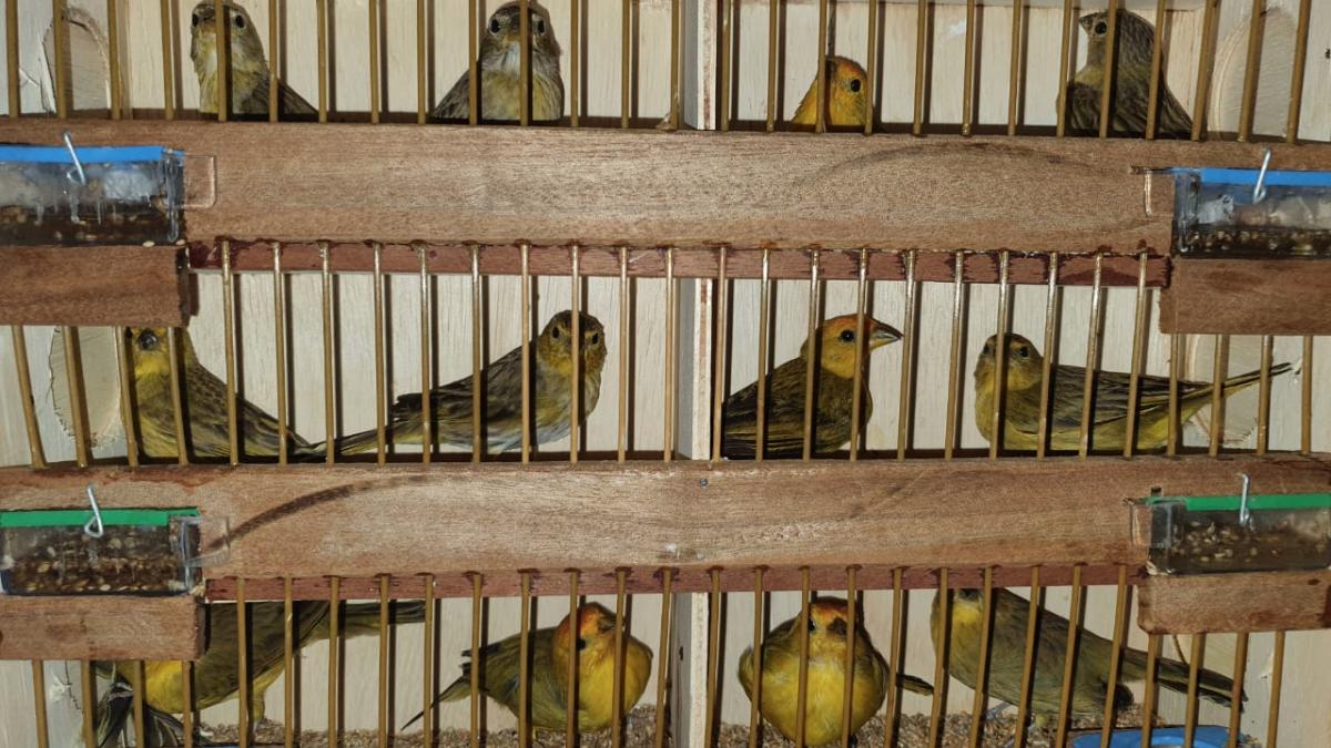 Suspeito foge após sinal de parada, mas é preso com mil pássaros silvestres