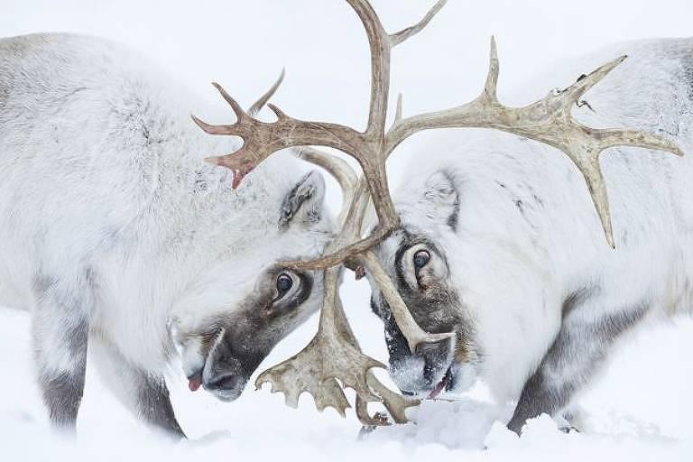 Renas de Svalbard, no ártico norueguês, brigam pelo controle de um harém - Stefano Unterthiner/WPY