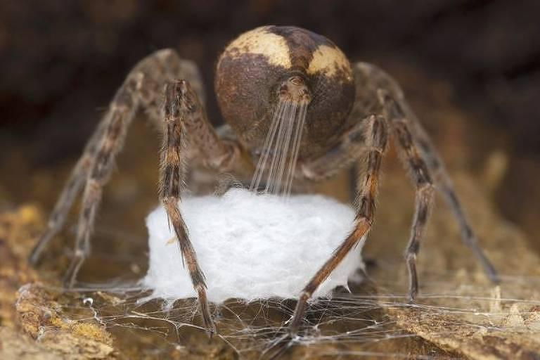 Imagem de aranha dolomedes - Gil Wizen/WPY