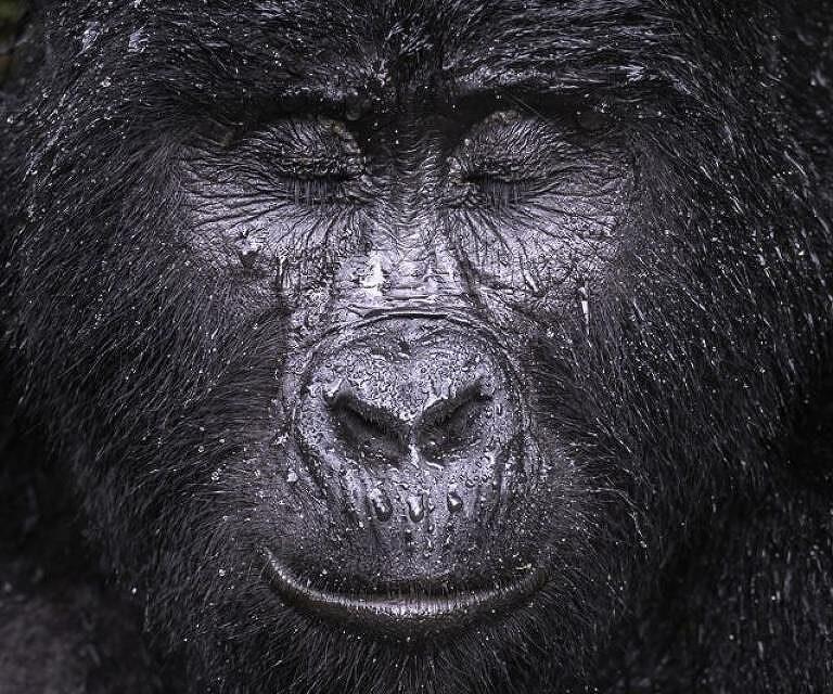 Kibande, gorila da montanha de quase 40 anos - Majed Ali/WPY